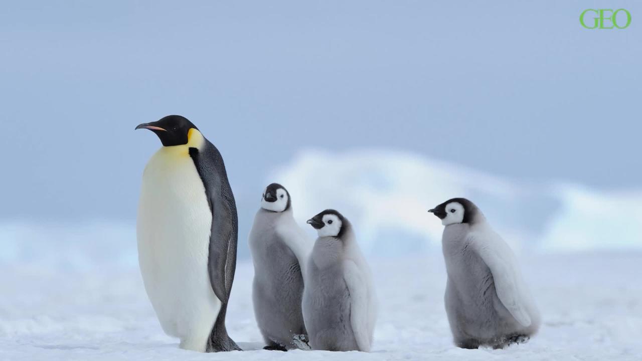 Pinguine: Die tauchenden Vögel im Tierlexikon - [GEOLINO]